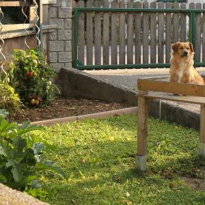 собака-охраняка помидоров
